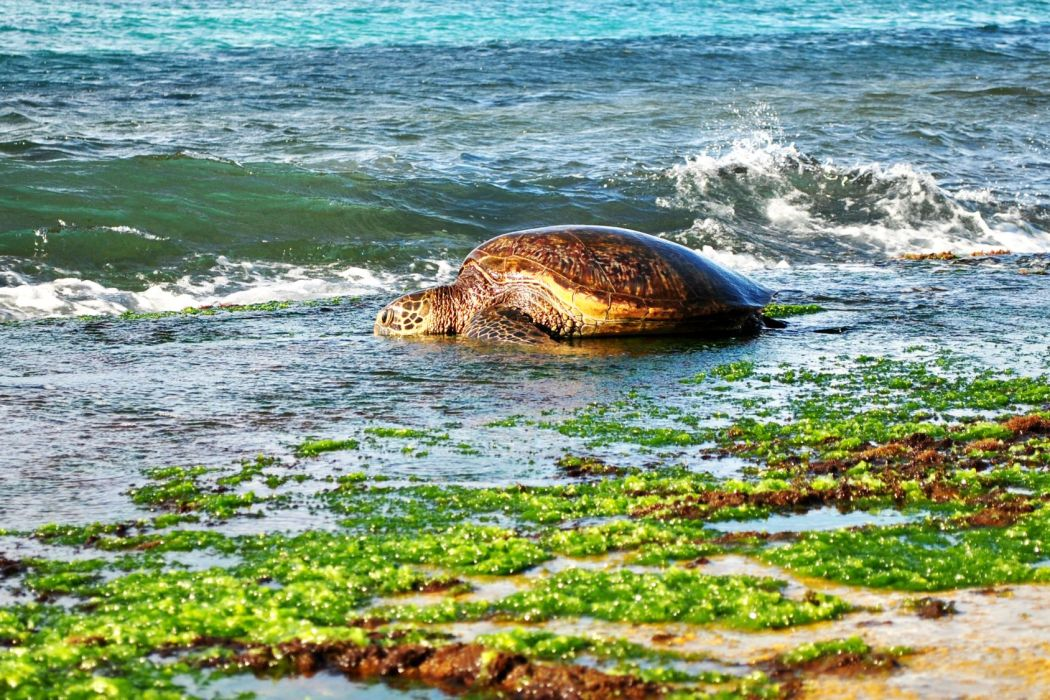 The Green Sea Turtle- Laniakea Beach, Oahu | Pineappleislands