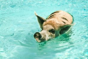 Swimming With Pigs in an uninhabited Bahamian Island